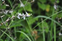 Anthericum sp